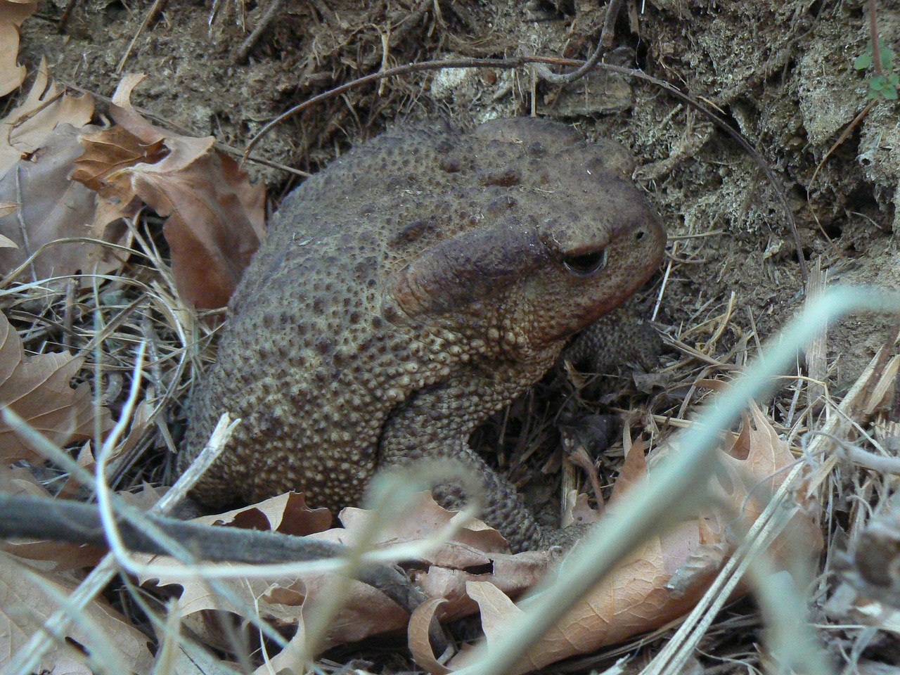 Common Toad Bufo bufo, Greece
