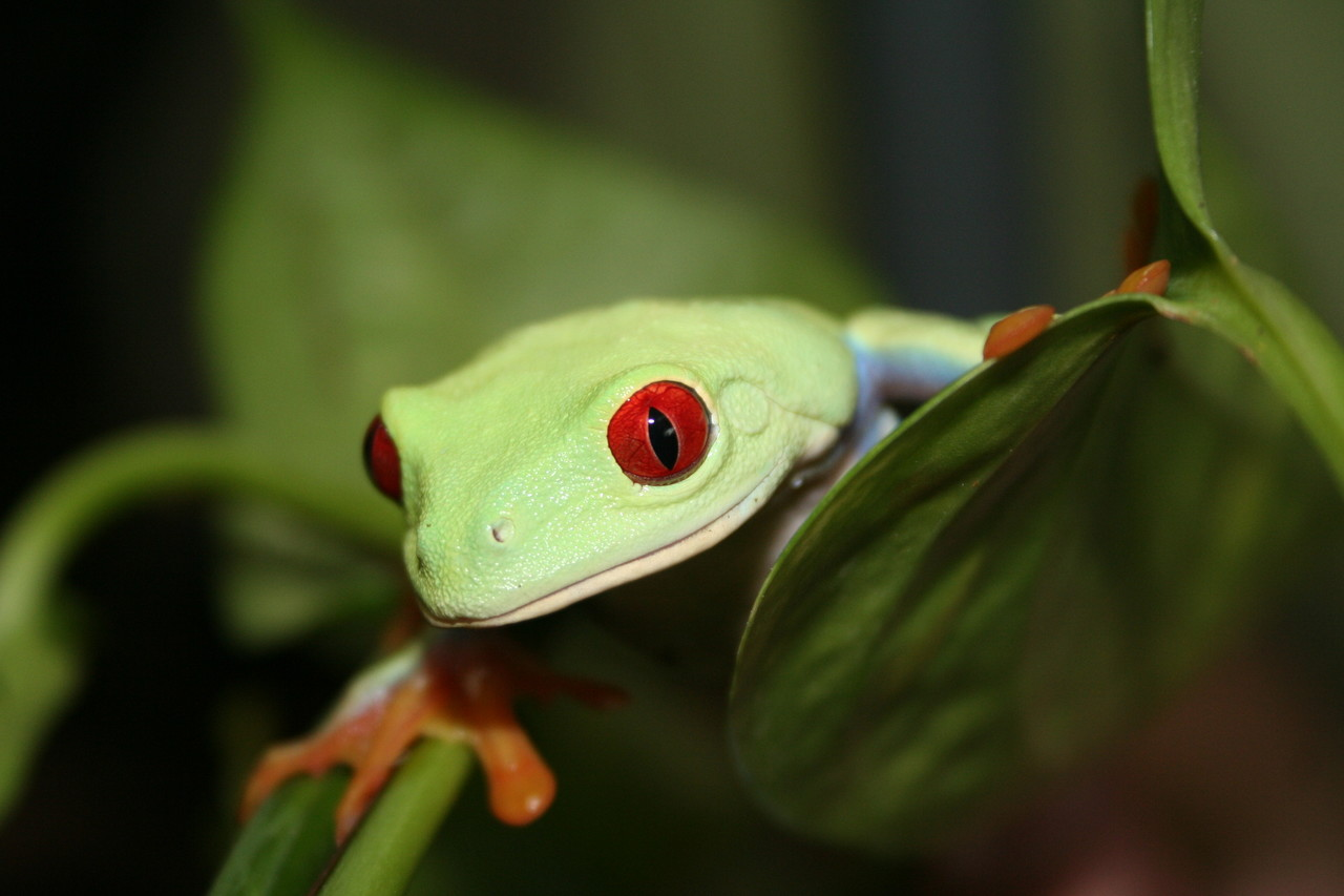 Red-eyed tree frog Agalychnis callidryas