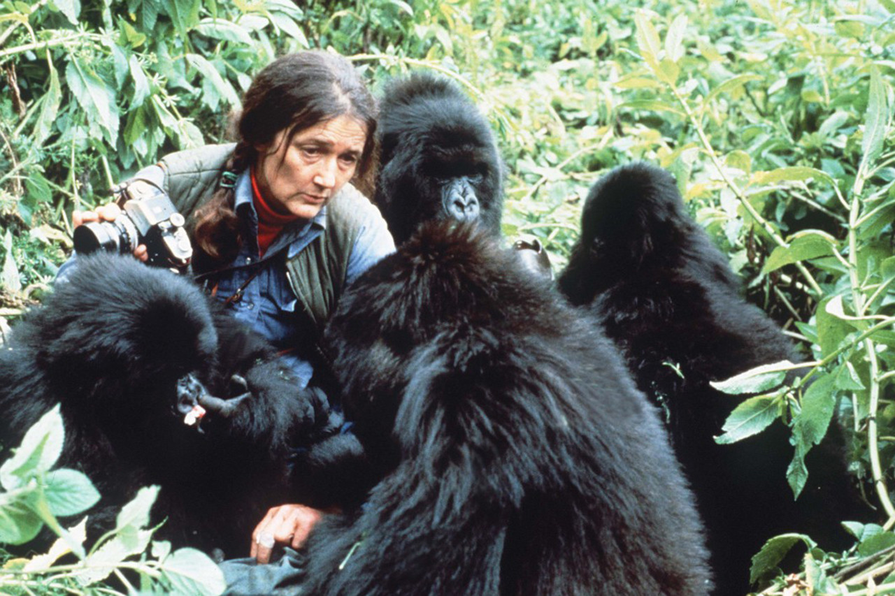 Diane Fossey among the mountain gorillas Gorilla beringei beringei