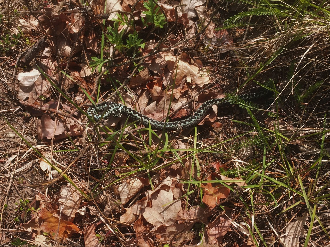 Common European Adder Vipera berus, Tuchola Pinewoods, Poland