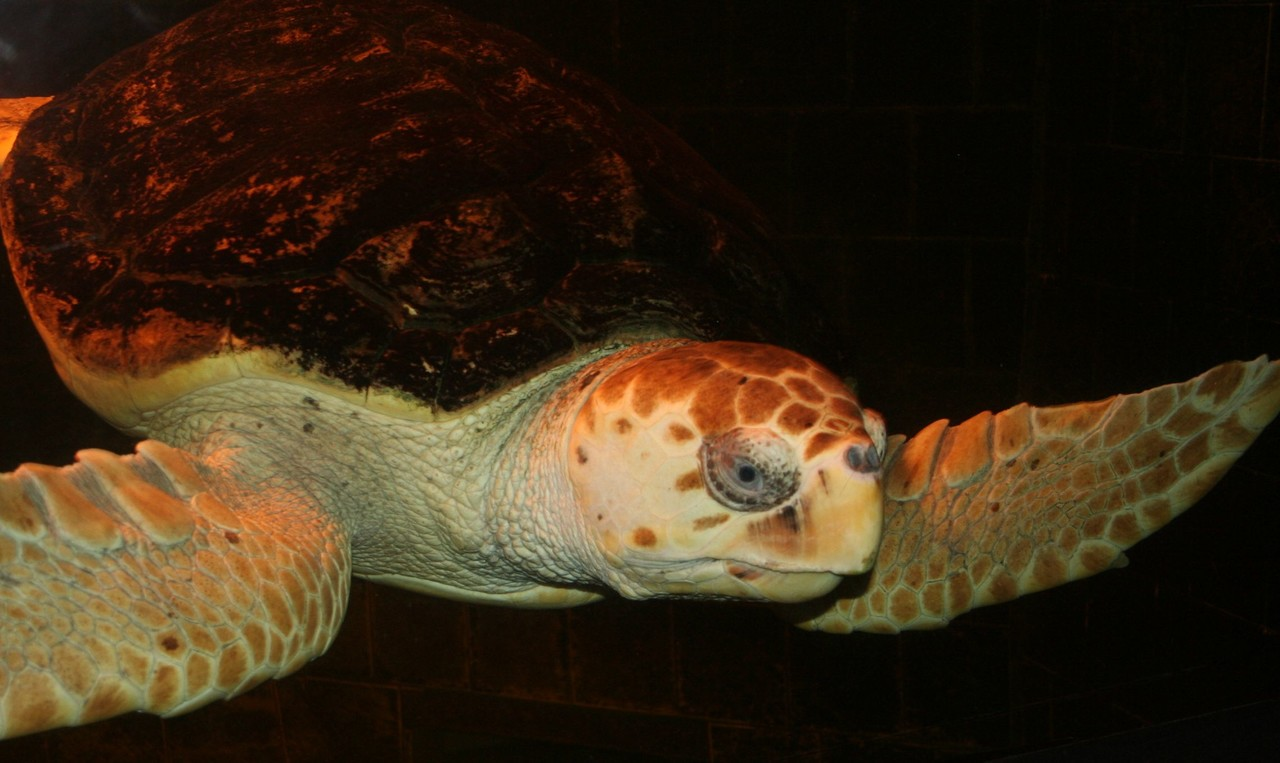 Loggerhead sea turtle Caretta caretta